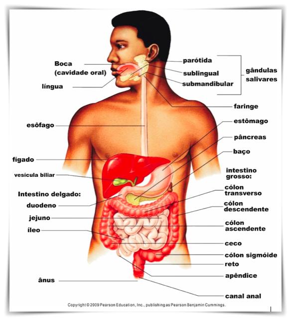 Figura 1 – Esquema do Sistema Digestório humano. Disponível em: http://www.skyhdwallpaper.com/digestive-system-of-human
